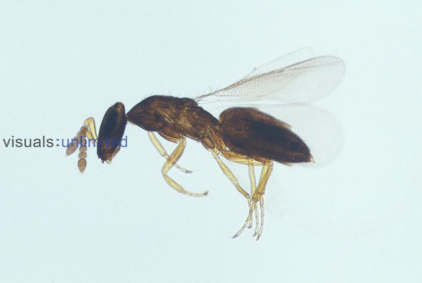 Wasp (Melittobia digitata)