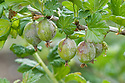 American gooseberry mildew, early June. Initially, powdery white patches appear on shoots and leaves, then on the fruits themselves. New shoots may become misshapen and fail to grow properly. Eventually, the skins of the fruits may turn brown <br /> and felt-like or leathery and, <br /> although the mildew can be <br /> removed and the fruits eaten, they are not very tempting.