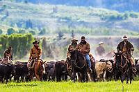 Cattle drive, Jackson Hole, Wyoming