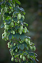 05/09/14 <br /> <br /> Goldings hops.<br /> <br /> Thanks to ideal growing conditions over the summer, Britain's hop harvest is set to be a bumper crop.<br /> <br /> Picking stopped early yesterday at Stocks Farm, Worcestershire, as the 'Heath Robinson' style 1962 Bruff hop picking machine was overwhelmed by the volume of hops coming in from the 100 acres of hops the farm grows.<br /> <br /> The golding hops are the first to picked this year from the bines that are strung up on a total of 550 miles of twine that stretch across the farmland near the Malvern Hills. &quot;That's enough to make 46m pints of craft ale&quot; said farmer and hop expert Ali Capper.<br /> <br /> The farm grows a variety of hops supplying national brewers including Fullers, Greene King, St Austell and Marston's, and hundreds of craft breweries and brewers in the UK and USA.<br /> <br /> &quot;We've had perfect growing conditions this year, a lovely warm summer and even rainfall. The whole crop is looking wonderful and the aromas are much better than last year,<br /> <br /> &quot;It should be a bumper crop - but we can't be sure until it's all in&quot;<br /> <br /> &quot;The demand from small brewers is rising each year&quot; added Ali<br /> <br /> &quot;This year we'll be selling 100 gram bags for home brewers too - that's enough to brew at least 20 pints. <br /> <br /> In 2013 almost half of all British hops were exported to to the USA - and this figure is still rising&quot; she said.<br /> All Rights Reserved - F Stop Press.  www.fstoppress.com. Tel: +44 (0)1335 300098