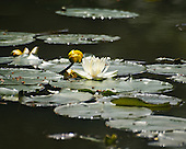 The sun reflects off the water on the lillypads like crystals surrounding two yellow buds and one fully white waterlilly. Recommend printing on metallic paper.