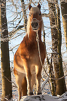 Haflinger im Wald, Winterwald, Winter, Schnee, Pony, Pferd