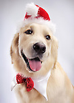 Portrait of cute one year old Golden Retriever wearing a Santa hat and Christmas bow. Isolated on white background.