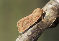 Common Quaker Orthosia cerasi Length 18-20mm. A spring-flying woodland moth that rests with its wings held flat. Adult has forewings whose colour ranges from rich brown to grey-buff. Forewings usually show a pale cross line towards the outer margin and pale-ringed kidney and circular spots. Flies March-April. Larva feeds on deciduous trees, particularly oaks and willows. Widespread and common in lowland Britain, especially in the south.