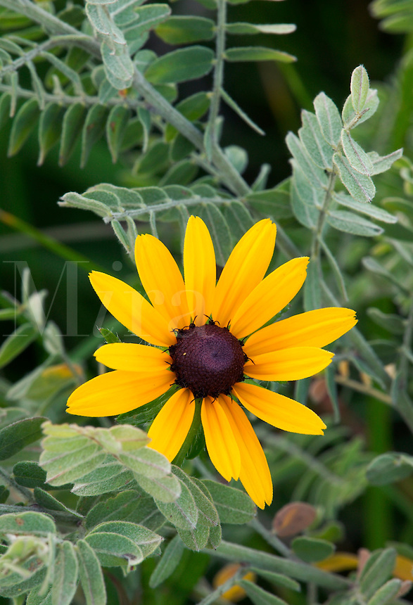 Black-eyed Susan and leadplant, Steele Prairie State Preserve, Cherokee County, Iowa