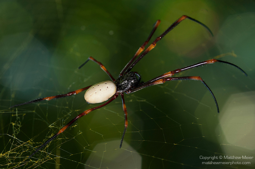 Garden of the Sleeping Giant, Nadi, Fiji; a Golden Orb Web Spider (nephila spp.) sitting in it's web amongst Fiji's largest orchid collection, founded by Raymond Burr in 1977, also known as a Giant Wood Spider