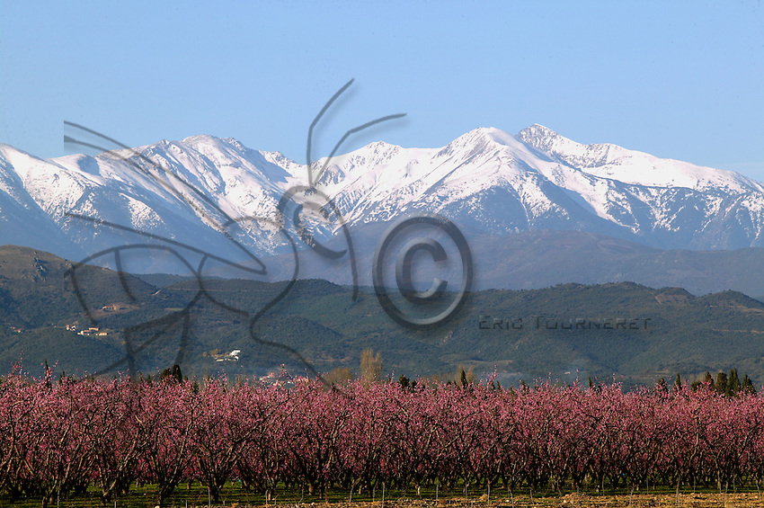 At the foot of Mount Canigou (France), pink peach trees spread all the way to the foothills of the Pyrenees. In the area, fruit trees bloom in succession: almond trees early in February, followed by apricot and peach trees until mid-March. Fruit trees bloom over a short period of time and their pollination by insects is necessary to obtain quality fruit.