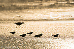 Sanderlings (Calidris alba) silhouetted as they run along the shoreline, an American Oystercatcher (Haematopus palliatus) appears in the background, September, Nickerson Beach, Long Island, NY, USA. (Digitally retouched, space added at top)
