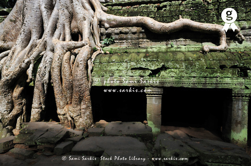 Strangler fig (Ficus sp.) tree roots on temple (Licence this image exclusively with Getty: http://www.gettyimages.com/detail/84754495 )