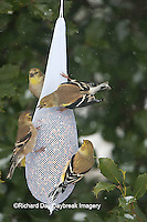 01640-160.18 American Goldfinches (Carduelis tristis) on mesh birdseed bag, Marion Co., IL