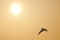 Just after sunrise a pelican flies by creating a silhouette.