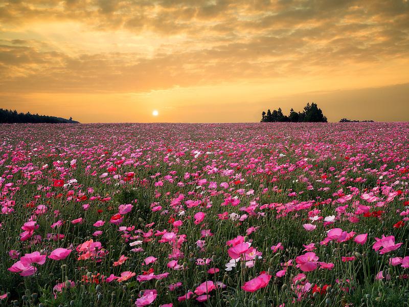 Poppy field grown for seed. Neafr Silverton, Oregon