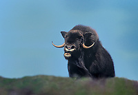 660750006 a wild bull musk ox ovibus moschatus bellows from a permafrosted hillside in the northwest territories of canada