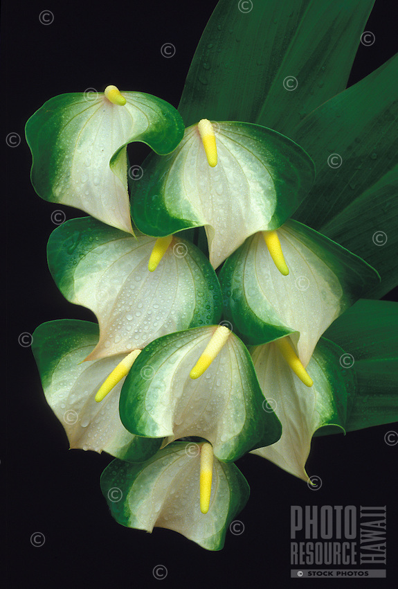 Butterfly anthurium
