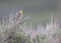 A male western meadowlark emits his territorial call.