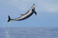 Pantropical spotted dolphin, Stenella attenuata, leaping, Kona Coast, Big Island, Hawaii, USA, Pacific Ocean Ocean