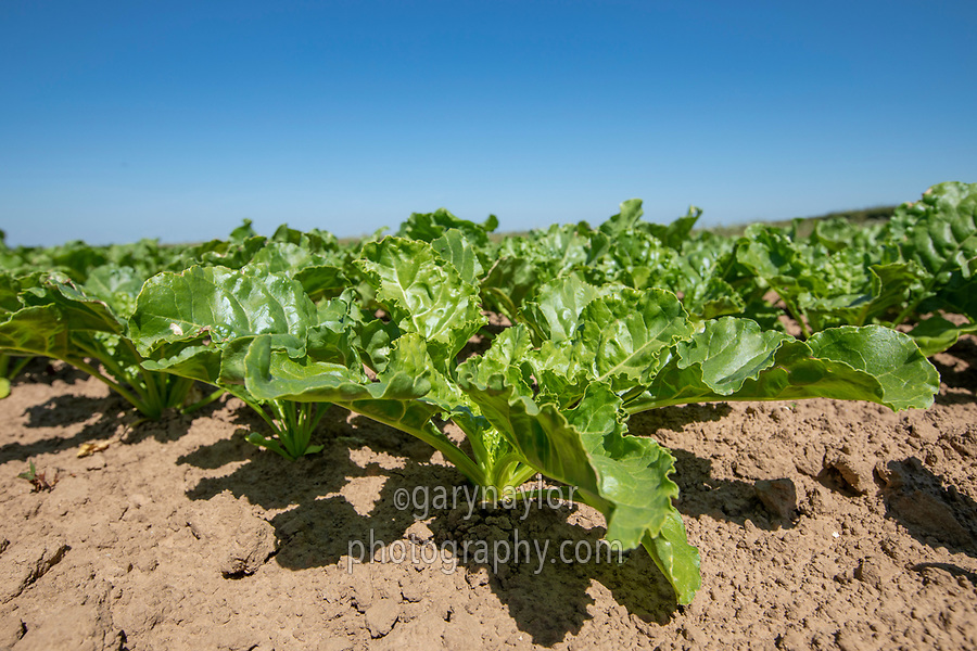 Sugar beet plant - Lincolnshire, June