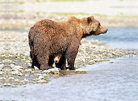 A baby brown bear peeks out from under its mother along the McNeil River, in Alaska's McNeil River State Game Sanctuary.