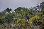Candelabra Tree (Euphorbia ingens) group, Kruger National Park, South Africa