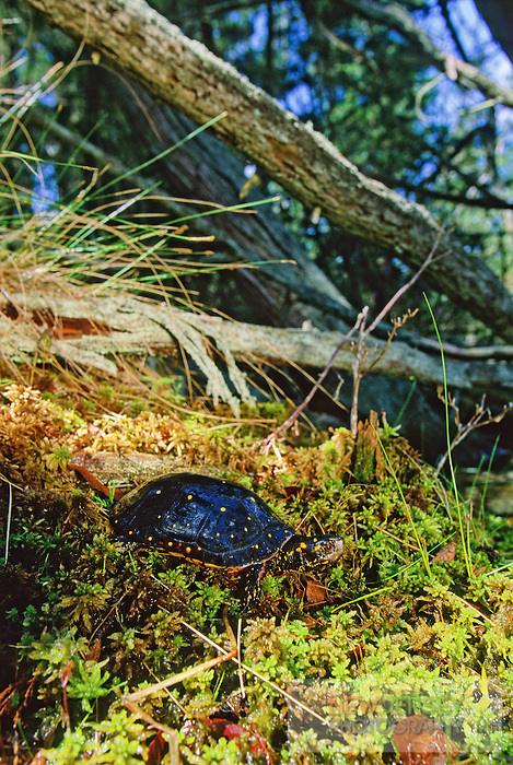 Spotted Turtle, on a Sphagum moss hummock, Cedar Swamp, Pine Barrens, New Jersey