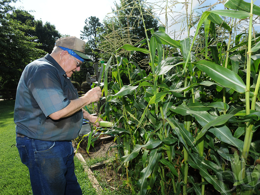 NWA Democrat-Gazette/ANDY SHUPE<br /> James Young of Fayetteville uses a knife Thursday, July 6, 2017, while harvesting sweet corn for the Butterfield Trail Village farmers' market in the facility's resident garden space. The market is open from 10 a.m. to noon today and allows residents at the facility to buy produce grown in the garden.