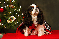 Ilsa, a tri color Cavalier, is photographed with her owner Jennifer Brint at a Muttmixer holiday party thrown by City Dog magazine in Seattle, WA on December 09, 2010. (photo by Karen Ducey)