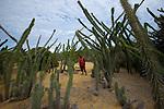ans le bush du Sud, les didierace?es aux allures de cactus ge?ants peuvent former de ve?ritables fore?ts impe?ne?trables