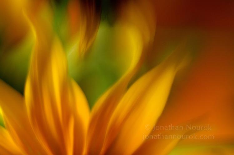 close-up of rudbeckia flowers