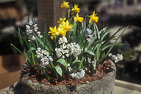 Narcissus 'Tete-e-tete' Daffodil & Pushkinia scilloides Striped Squill in pot, two kinds of spring bulbs in container garden, cement planter