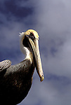 FL: Florida Everglades National Park,.Brown Pelican, bird.Photo Copyright: Lee Foster, lee@fostertravel.com, www.fostertravel.com, (510) 549-2202.Image: flever240