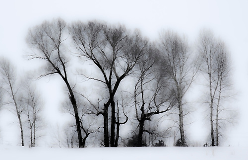 Leaveless Cottonwood trees appear in a stark winter scene in Idaho