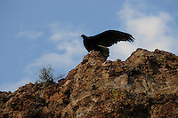 Superior, Arizona (September 21, 2014)  -- A turkey vulture begins to spread its wings as the sunlight starts to hit the cliff where it is perched. As September 20 brings the Autumn Equinox, marking the end of the summer, a flock of turkey vultures that make the Boyce Thompson Arboretum in Superior, Arizona their home from March to September each year, are about to begin their annual migration. Photo by Eduardo Barraza © 2014