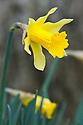 Wild daffodil (Narcissus asturiensis), mid March.