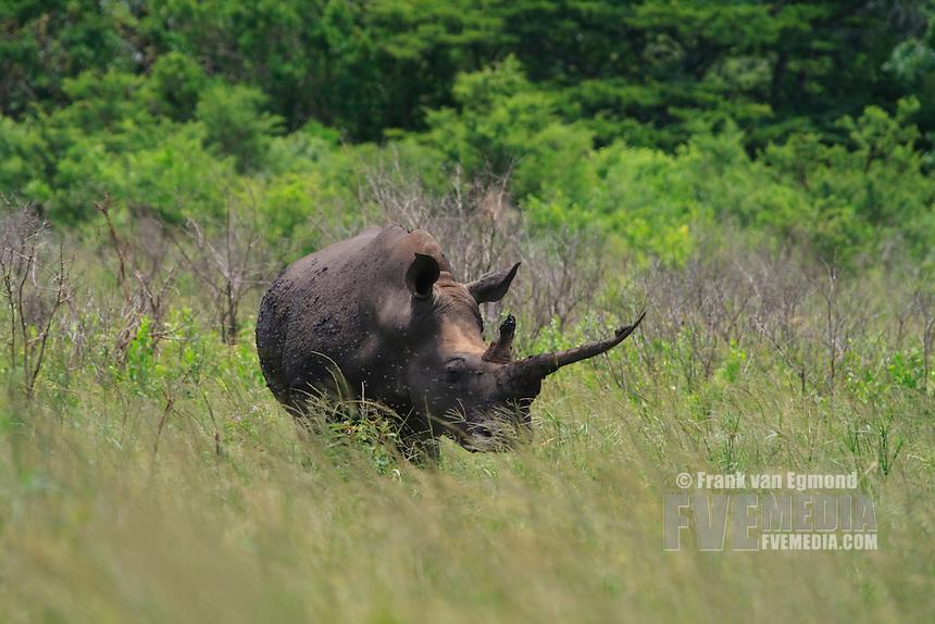 White Rhinoceros or Square-lipped Rhinoceros..(Ceratotherium simum).Specimen with peculiar anterior horn. Conservation status: Near Threatened..Hluhluwe Imfolozi Game Reserve, Kwazulu Natal, South Africa.