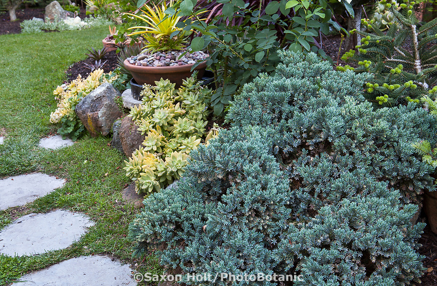 Gray foliage Juniper groundcover evergreen conifer shrub in California plant collector garden - Carol Brant