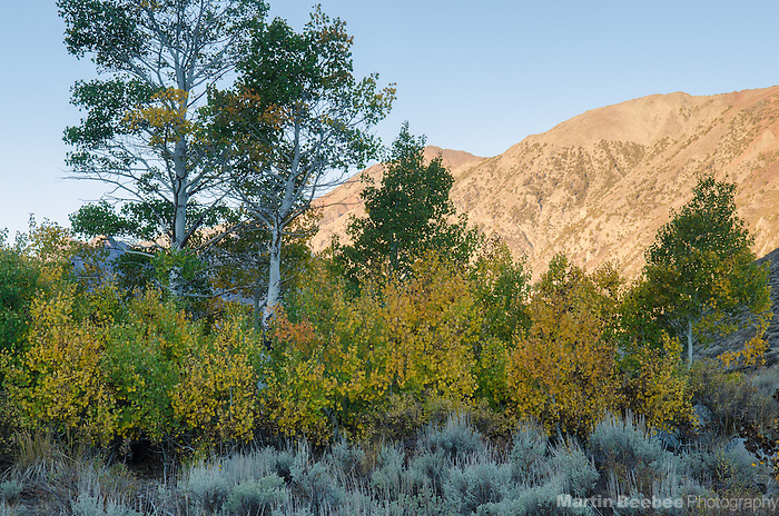 Quaking Aspen (Populus tremuloides) and morning alpenglow on Monument Ridge, Toiyabe National Forest, California