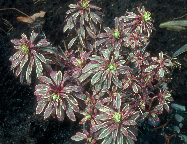 Euphorbia amygdaloides 'Variegata' variegated foliage plant in green, pink and cream tricolored leaves GR633