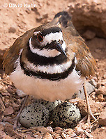 0510-1104  Killdeer, Adult Cooling Eggs in Hot Summer Sun by Shading the Eggs, Charadrius vociferus  © David Kuhn/Dwight Kuhn Photography