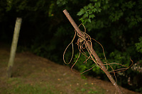 A rusted clothes line that Elsie Herring says she can no longer use because of the odor from a hog waste spray field that lies just beyond the trees. Her home off Beulah Herring Lane (named after her late mother) is on land that has been in her family for generations. She is a party in a nuisance lawsuit against Major Murray Farm, which contracts with Murphy-Brown LLC, because of the horrible odor of the hog waste and the vermin and pests (insects, snakes) it attracts to her property, which interfere with her quality of life. She also claims that hog industry is trying to take her families land from her, by manipulating the deeds. Wallace, NC Wednesday, May 16, 2018. (Justin Cook for The Guardian)