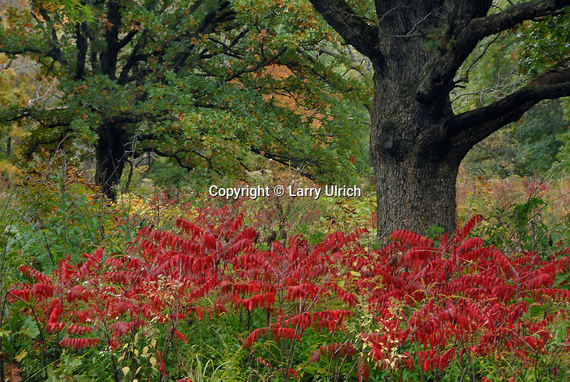 Sumac and pin oak<br /> Pershing State Park<br /> Linn County<br /> Missouri