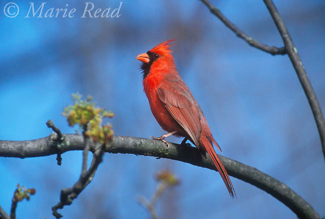 Northern Cardinal (Cardinalis cardinalis) male singing in spring, (note fluffed throat feathers) New York, USA