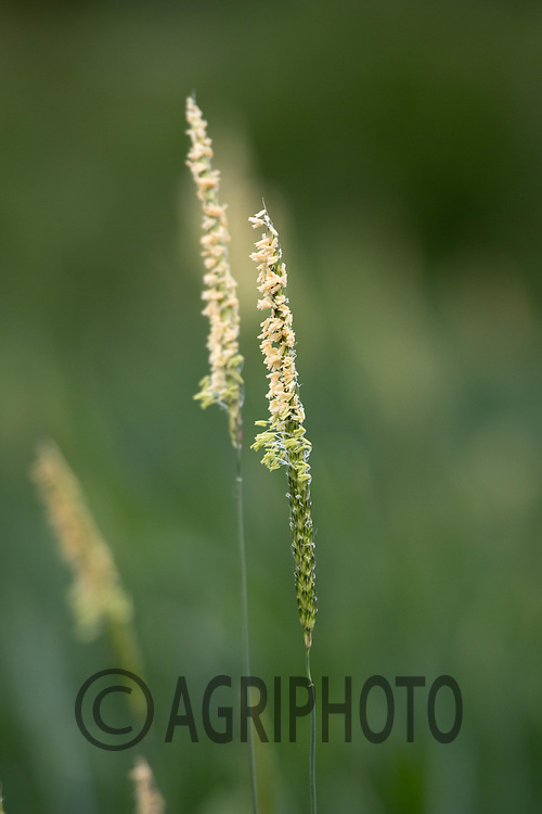 Blackgrass flowering<br /> &copy;Tim Scrivener Photographer 07850 303986<br /> ....Covering Agriculture In The UK....