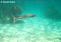 0110-1202  Great Barracuda (Giant Barracuda) in the Caribbean, Sphyraena barracuda  © David Kuhn/Dwight Kuhn Photography