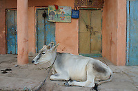 holy cow resting close to river Ganga