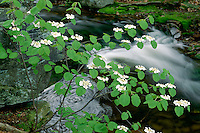 Hobblebush in Ganoga Glen<br />