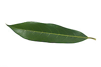 Kirschlorbeer, Lorbeerkirsche, Kirsch-Lorbeer, Lorbeer-Kirsche, Prunus laurocerasus, Cherry Laurel, Laurier-amande, Laurier-cerise. Blatt, Blätter, leaf, leaves