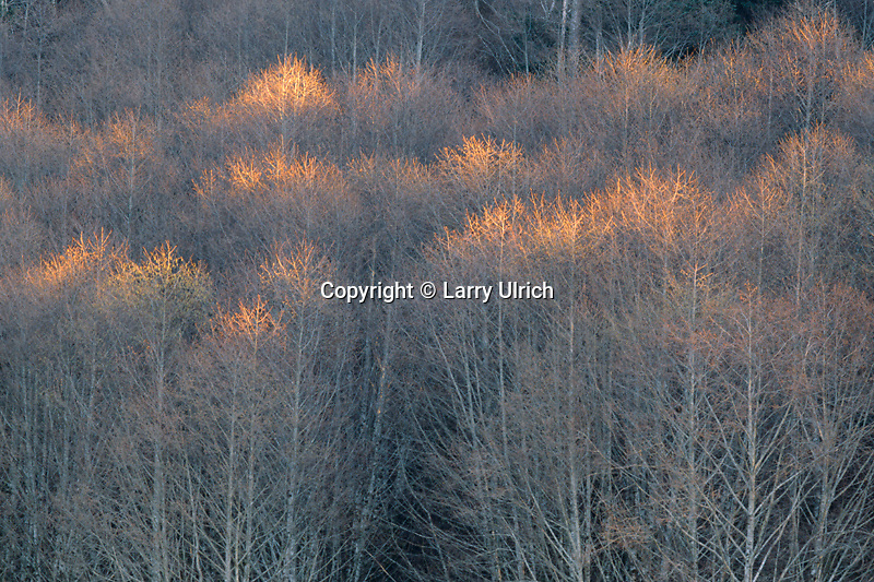 Red alders in winter<br /> Coast Range near Sand Lake<br /> Tillamook County<br /> Oregon