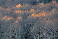 Red alders in winter<br />