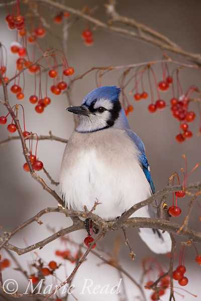 Blue Jay (Cyanocitta cristata) perched amid red berries in winter, New York, USA