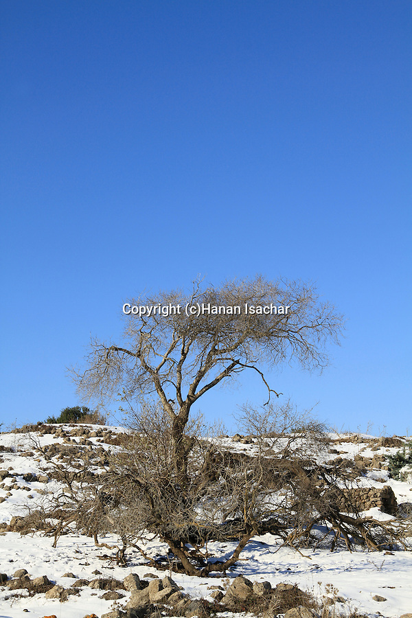 Golan Heights, a broken Cherry tree after a snow storm